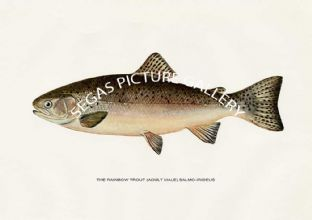 Rainbow Trout (Adult Male) Salmo-Irideus